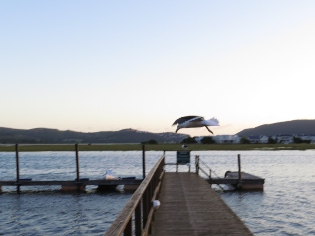 Seagulls nesting close to the pier's at Knysna River Club